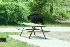 OMG A BEAR A REAL BEAR IT'S A BEAR (Tunkhannock, PA)