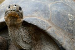 Grownup Galapagos tortoise