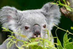 Koala intent on eating that eucalyptus as slowly as possible