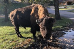 Ever had a bison turn to look at you?