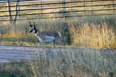 Pronghorn crossing the road