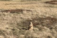 Chonkers prairie dog says hi