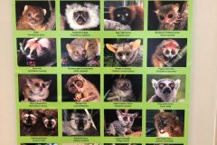 So many types of lemurs!