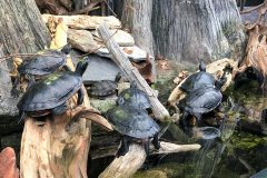 Red bellied cooters
