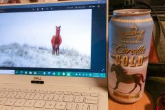 Editing the day's horse photos drinking North Carolina beach horse lager