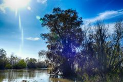 Louisiana's state tree, the bald cypress, covered in Spanish moss