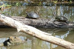 Our first nature sighting! Red-eared turtles.