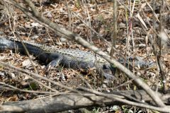 Our first gator! If this was the only one we'd seen, I'd still be happy.