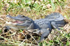 Sunbathing gator, roughly 7-8 feet long