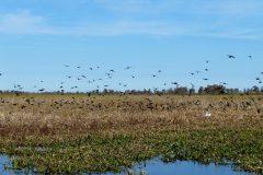 Black birds and a white egret