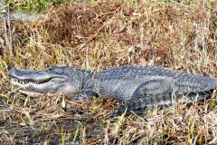 Biggest gator of the day -- over 11 feet long