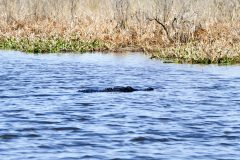 Gator in stealth mode
