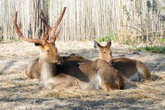 Swamp Deer from Nepal