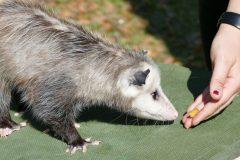 Rescued baby possum named Sage