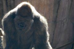 Okpara, the silverback gorilla