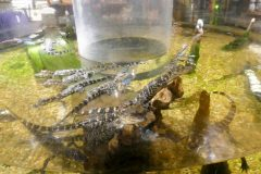 Baby gators in the gift shop. Doubt they're for sale.