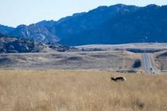 Pronghorn doe grazing