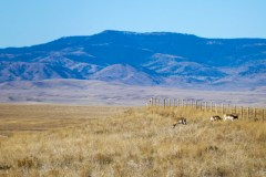 Three pronghorn does