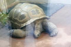 Mr. Mac, an Aldabra tortoise